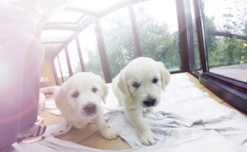 Virtual Dream - Golden Retriever Puppies