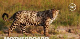 Brazil's Disappearing Wild Jaguars