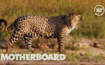 Brazil's Disappearing Wild Jaguars