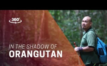 In the Shadow of Orangutan